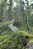 Hojas de la vegetación y del abedul del verano Tema del bosque foto de archivo libre de regalías