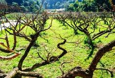 Hojas de la vertiente de los árboles de melocotón en huerta Imagen de archivo