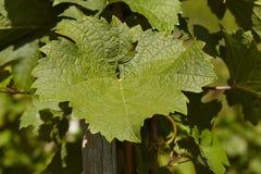 Hojas de la vid del viñedo Fotografía de archivo