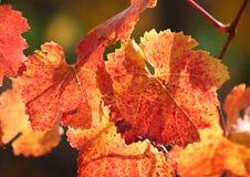 Hojas de la vid en rojo y oro Foto de archivo libre de regalías