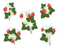 Hojas de las flores y bayas de la fresa Imagen de archivo