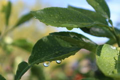 Hojas de las gotas y del verde del agua Fotografía de archivo libre de regalías