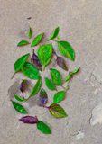 Hojas de las hierbas (albahaca) Foto de archivo libre de regalías