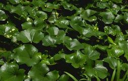 Hojas de las plantas Foto de archivo libre de regalías
