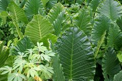 Hojas de las plantas tropicales Fotos de archivo libres de regalías