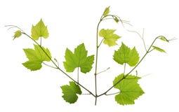Hojas de las ramitas de la primavera y ramas jovenes de las uvas de vino Fotografía de archivo libre de regalías