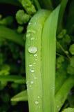 Hojas de lirios salvajes después de la lluvia Imagen de archivo