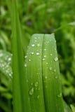 Hojas de lirios salvajes después de la lluvia Foco selectivo, cierre para arriba, macro, fondo Foto de archivo