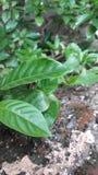 hojas de los árboles de la planta fotos de archivo