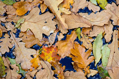 Hojas de los árboles del otoño en agua Foto de archivo