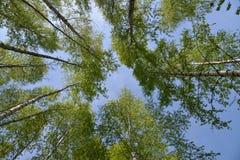 Hojas de los abedules sobre el cielo azul Imagen de archivo libre de regalías