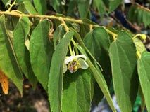 Hojas de los jangomas del Flacourtia imagen de archivo