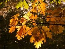 Hojas de los robles del otoño Foto de archivo