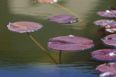 Hojas de Lotus Fotos de archivo libres de regalías
