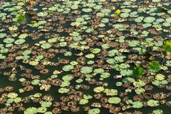 Hojas de Lotus Foto de archivo libre de regalías