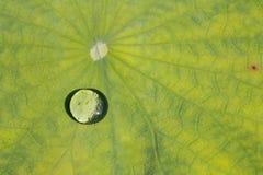 Hojas de Lotus Foto de archivo