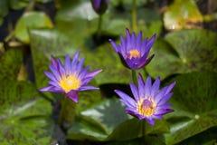 Hojas de Lotus Imágenes de archivo libres de regalías