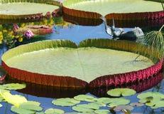 Hojas de Lotus del amazonica de Victoria con reflexiones Fotografía de archivo libre de regalías
