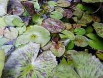 Hojas de Lotus en el pote de establecimiento Imagen de archivo