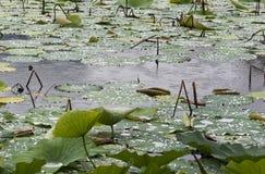 Hojas de Lotus en lluvia Imágenes de archivo libres de regalías
