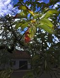 Hojas de manzanas Rojo uno foto de archivo libre de regalías