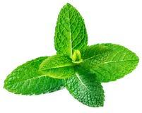 Hojas de menta crudas frescas aisladas en el fondo blanco Menta verde, p Foto de archivo libre de regalías