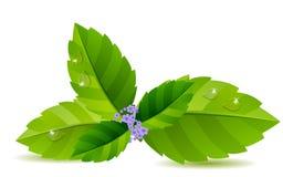 Hojas de menta verdes Foto de archivo libre de regalías