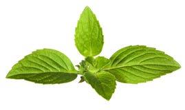 Hojas de menta verdes aisladas en blanco Fotos de archivo libres de regalías