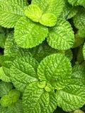 Hojas de menta verdes en la cama vegetal imágenes de archivo libres de regalías