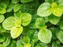 Hojas de menta verdes frescas del primer en jardín vegatable fotografía de archivo libre de regalías