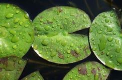Hojas de Nile Water Lily fotografía de archivo libre de regalías