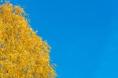 Hojas De oro-amarillas brillantes del abedul Imágenes de archivo libres de regalías