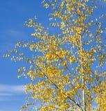 Hojas de oro del abedul en el cielo azul Imagen de archivo