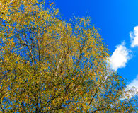 Hojas de oro del abedul en otoño Foto de archivo