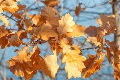Hojas de oro del roble del otoño Fotos de archivo