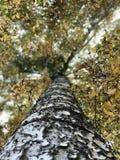 Hojas de oro en la cima de un árbol de abedul hermoso Imagenes de archivo