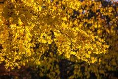 Hojas de oro en otoño Foto de archivo