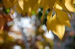 Hojas de oro de los árboles de abedul en los puntos culminantes del sol de la tarde Imagen de archivo libre de regalías