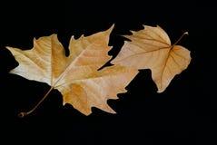 Hojas de otoño. Fotos de archivo