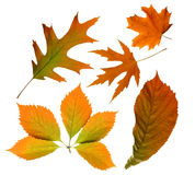 Hojas de otoño aisladas Fotografía de archivo