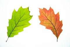 Hojas de otoño aisladas Imagen de archivo libre de regalías