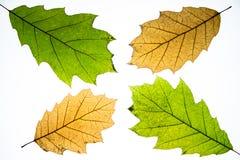 Hojas de otoño aisladas Foto de archivo libre de regalías