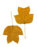 Hojas de otoño aisladas en blanco Fotografía de archivo libre de regalías