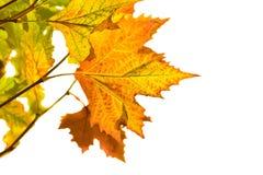 Hojas de otoño aisladas en blanco Imagen de archivo