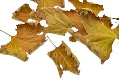 Hojas de otoño aisladas en el fondo blanco imagen de archivo