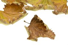 Hojas de otoño aisladas en el fondo blanco fotografía de archivo