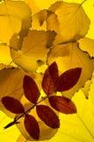 Hojas de otoño aligeradas de backround Imágenes de archivo libres de regalías