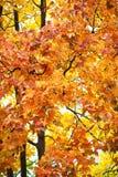 Hojas de otoño amarillas Foto de archivo