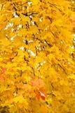 Hojas de otoño amarillas Fotos de archivo