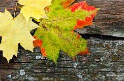 Hojas de otoño amarillas Imagen de archivo